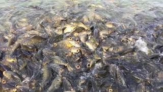 Fish and fish only, Surinsar lake