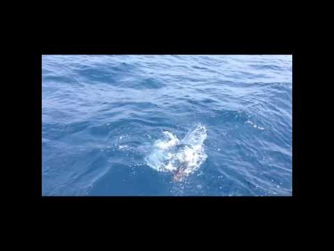 Flyfishing Blufin tuna in Biscay bay