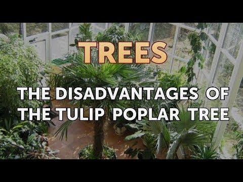 The Disadvantages of the Tulip Poplar Tree