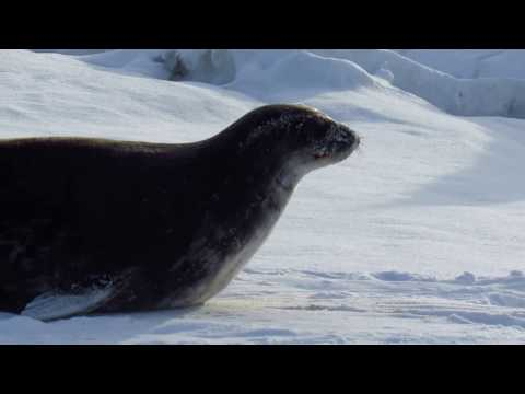 Weddell Seal being a derp - Scott Base Pressure Ridges, Antarctica - Nov 24th 2015
