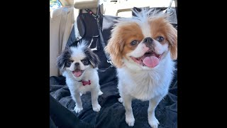 Japanese Chin Dogs, Bedtime Routine with Mabel, Couper & Penny (HD)