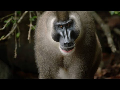 Vivid Footage of One of the Rarest Primates in the World