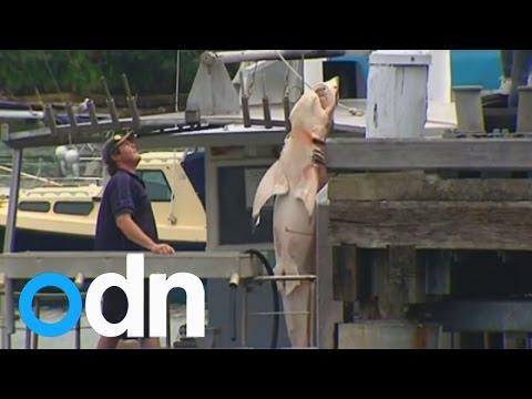 2.5 metre long great white shark caught in Bondi Beach shark net