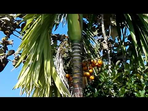 Areca Nuts Palm with Areca Nuts