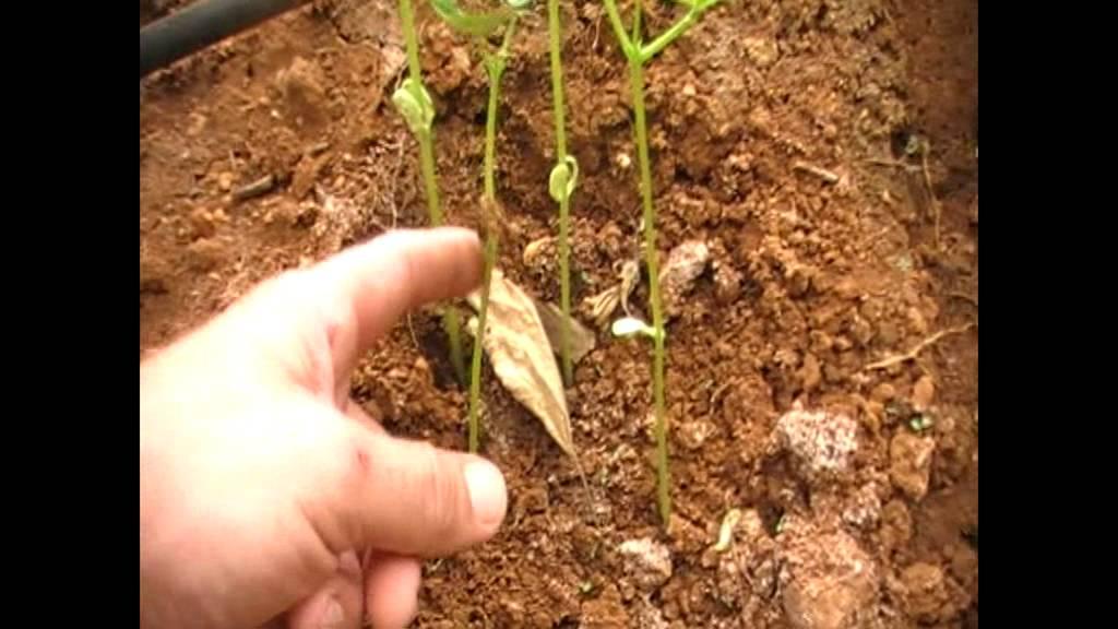 Plantar jud as verdes en huerto casero youtube - Como preparar unas judias verdes ...