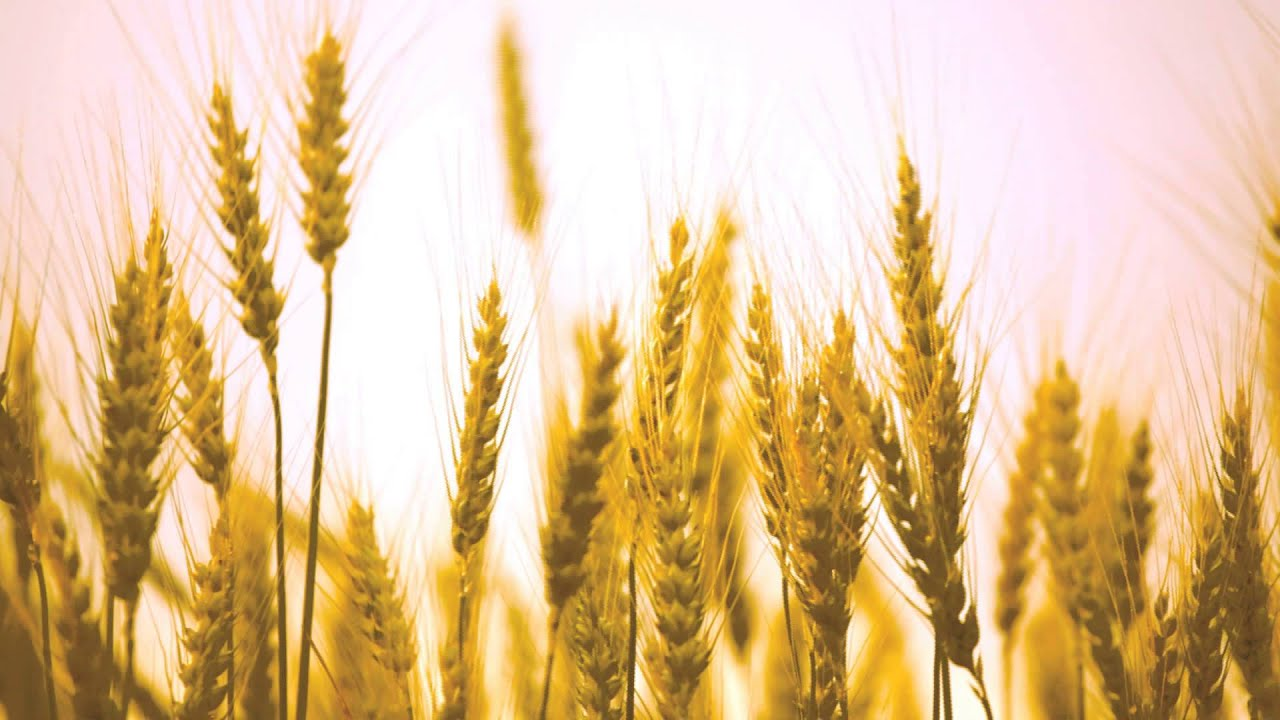 Wheat background - YouTube