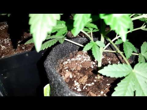Seguimiento N°2 fem, Mamba negra cbd, Mexican sativa, Y griega
