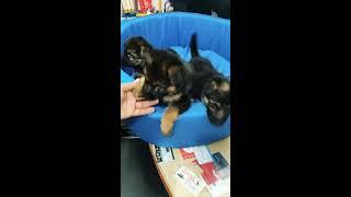 German Shepherd dog for sale in Delhi 92 12501 257 buy online German Shepherd puppy