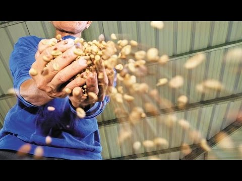 Video of Coffee Beans Huller  3 Rubber Roll Coffee Bean Shell Removing Machine