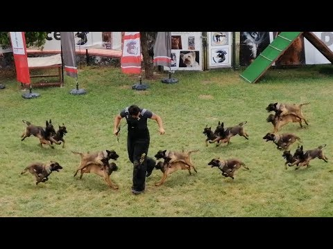 Belgian Malinois Puppies Attack Trainer - How to Train Belgian Malinois puppies? (AGGRESSIVE!!!)