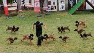 Belgian Malinois Puppies Attack Training - How To Train Belgian Malinois Puppies
