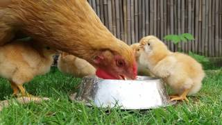 Adorable tiny chicks with mother hen