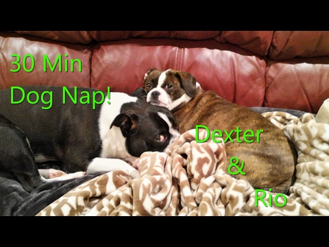 30 min Dog Nap!!  Boston Terrier and Beagle X (Dexter and Rio) snoring