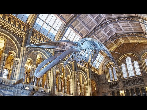 Timelapse: blue whale moves into Natural History Museum