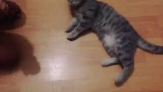 Моя кошка дрессированная😱даёт лапу и лежит🐱