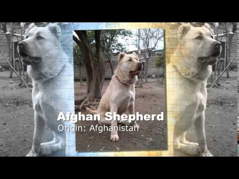 afghan shepherd dog breed