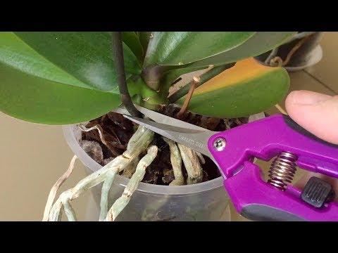 ОТРЕЗАТЬ цветонос орхидеи, как и где - живые и мертвые почки
