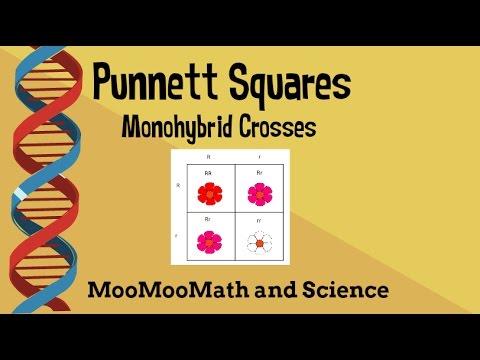 Punnett Square Example Problems Monohybrid Cross