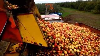 Récolte pomme à cidre