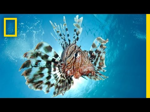 Combating the Invasive Lionfish—by Wearing Them | National Geographic