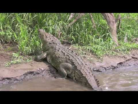 Costa Rica 2008 HD Part 8. Tyson the giant crocodile.