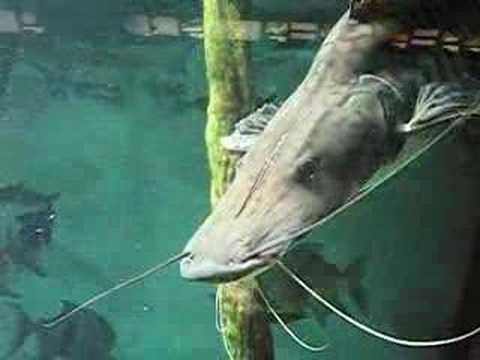 Big Fish Luccio?