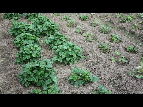Как правильно посадить садовую землянику осенью