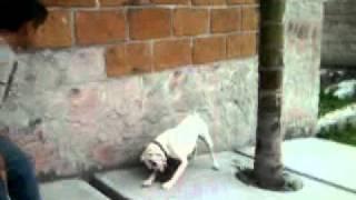 Boxer Vs Labrador