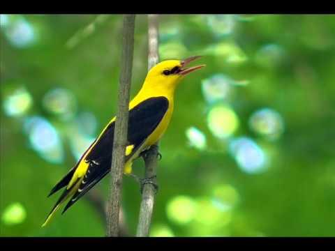 Голоса птиц  - Иволга.( Oriolus Oriolus)