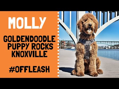 knoxville-dog-trainers---goldendoodle-puppy's-mind-blowing-transformation-from-rascal-to-rockstar