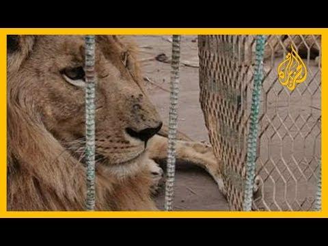 ???? ملك الغابة في أسوأ حالاته في إحدى حدائق الخرطوم  - نشر قبل 1 ساعة