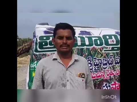 High yield hybrid paddy in long bold rice Trimurti seeds Kamakshi hybrid paddy