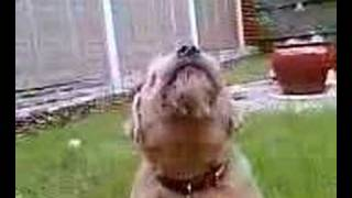 Singing Border Terrier 'chester'