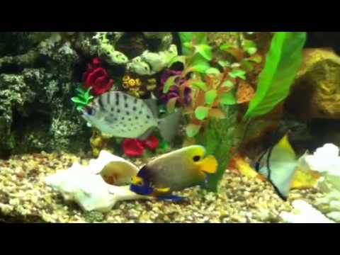 African Cichlids Living In Saltwater Tank Youtube