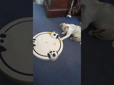 Devon rex kitten plum pudding playing POUNCE