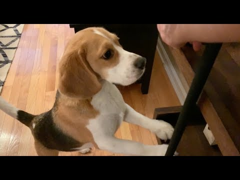 Cute beagle loves finding hidden treats