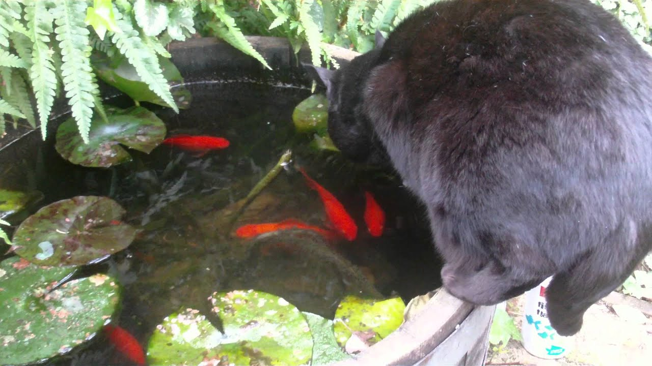 Fish in a pond with a cat funny youtube for Koi pond maine coon cattery
