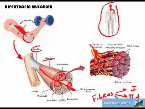 Anatomía y Fisiología del Músculo - YouTube