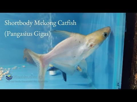 Shortbody Mekong Catfish (Pangasius Gigas)