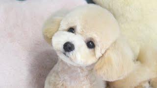 パピーテディベアの子犬を初めてパンツカットにしたらマジで可愛すぎたw【トイプードル】