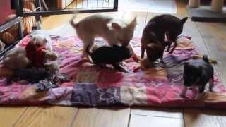 5 weken oud Chihuahua puppy's Sanya deel 1
