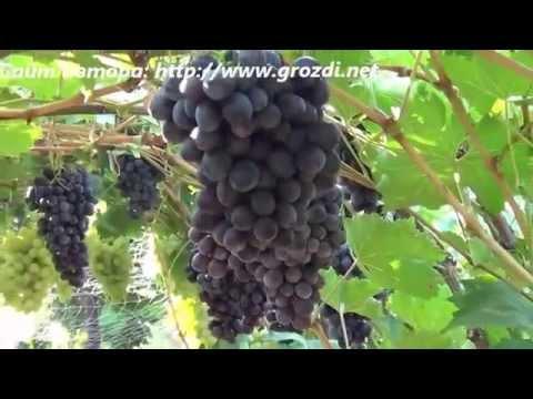 Сорта винограда на М vinogradinfo