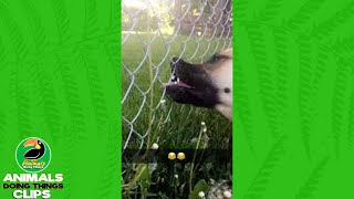 Dog Tries to Eat Dandelion through a Fence   Animals Doing Things Clips