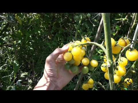 Сорт томата Летний сад f1 Supersadovod о саде и