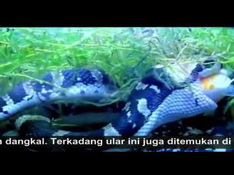 Memberi Makan Ular Kadut Belang Homalopsis Buccata Ikan Beku