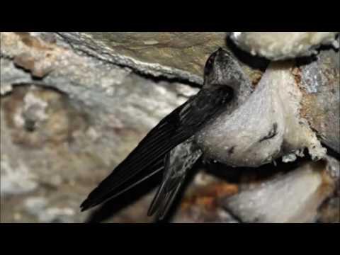 Suara Walet Inap Super Swallow voice