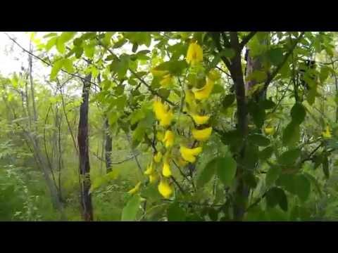 Вопрос: Акация это дерево или кустарник?