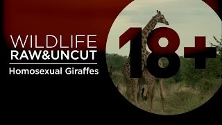 Repeat youtube video Homosexual Giraffes Do What Comes Naturally