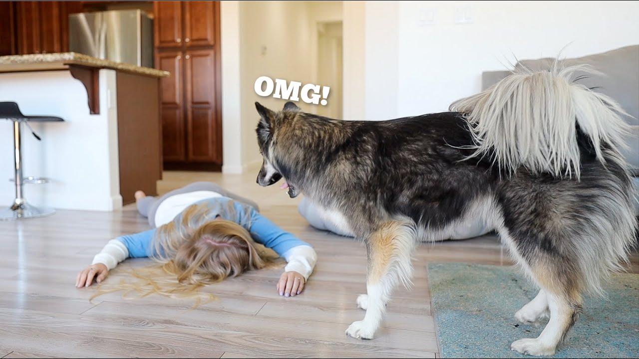 Pretending To Faint In Front Of My Huskies.. Mom vs Dad!
