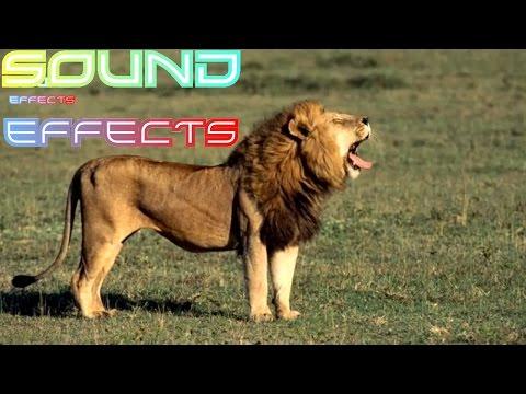 Lion Sound Effect #25